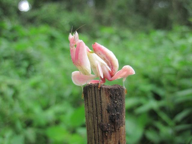 orchid-mantis-4